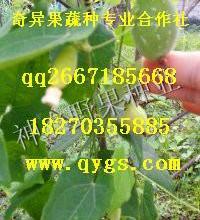 供应特色水果种子种苗红参果
