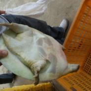 重庆中华鳖养殖甲鱼批发甲鱼价格图片