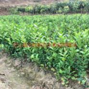 云南柠檬苗图片