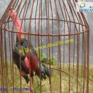 泰国纯种斗鸡图片