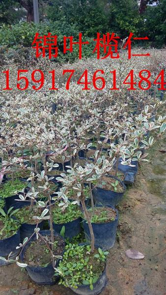 供应用于绿化造林的广东细叶榄仁袋苗便宜出售价格,南方30公分高细叶榄仁种苗供应商,广州细叶榄仁小苗批发价
