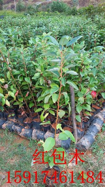 供应广东红花荷树苗,红花荷出售价,红花荷种苗便宜价,红花荷苗木供应商