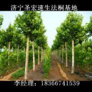 9公分法桐北京5公分6公分法桐图片