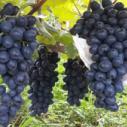 石家庄灵寿县葡萄采摘园酿酒葡萄图片