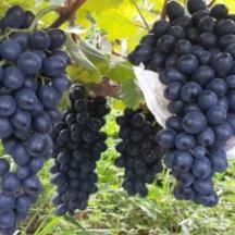 供应石家庄灵寿县葡萄采摘园酿酒葡萄 找酿酒葡萄