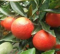 供应江西东方红桔苗种芽,江西东方红桔苗种芽批发