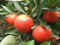 东方红橘果苗图片/东方红橘果苗样板图 (4)