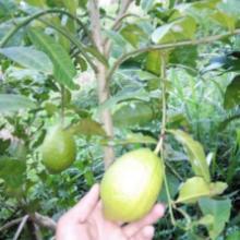 供应香水柠檬苗批发/香水柠檬苗基地