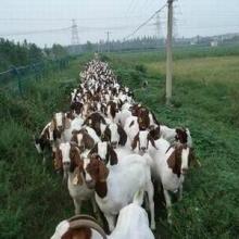 供应优质波尔山羊羊羔