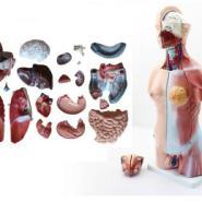 45CM两性躯干模型图片