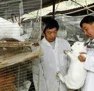 比利时肉兔种兔图片