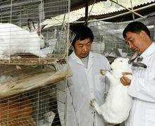 供应山东肉兔,肉兔养殖场,肉兔种兔哪里有卖的,肉兔市场价格