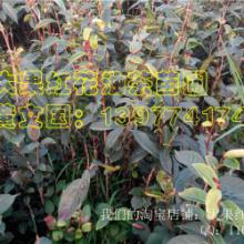 供应广西大果红花油茶树苗,求购广西大果红花油茶树苗,批发大果红花油茶树苗