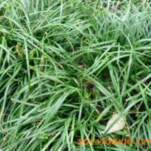 供应丹麦草,丹麦草种子,丹麦草基地,沭阳丹麦草,丹麦草价格