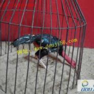 缅甸斗鸡养殖场图片