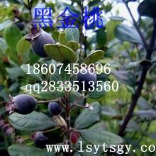 供应用于种植的特色水果黑金桃种苗批发