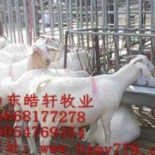 供应冠县白山羊多少钱