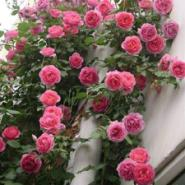 江苏蔷薇月季图片