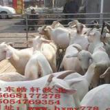 供应白山羊价格