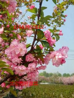 供应北京西府海棠,北京西府海棠种植,西府海棠供货商,西府海棠价钱