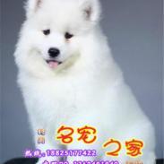 佛山市哪里有卖萨摩耶犬图片