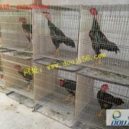河南山东鲁祥斗鸡养殖场专业销斗鸡图片