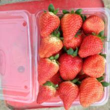 供应江苏甜查理草莓,江苏甜查理草莓苗