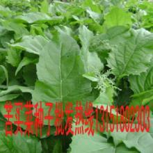 供应江苏苦买菜种子供应价格大量批发,江苏苦买菜种子供应价格直销电话图片