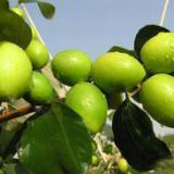 供应广西青枣树批发、青枣树报价、优质青枣价格
