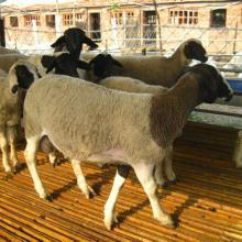 供应纯种黑头杜泊羊种公羊价格批发