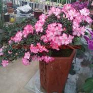南京年宵花卉推荐图片