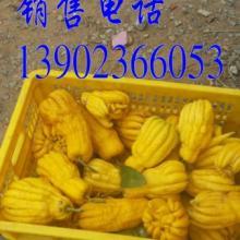 供应广东佛手果批发商,广东佛手果供货商,广东佛手果供应商