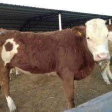 供应莱芜的牛价格 四川肉牛繁殖批发
