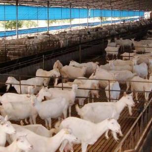 富平奶山羊羊羔图片