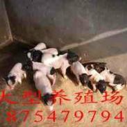 晋城泰国香猪巴马香猪养殖图片