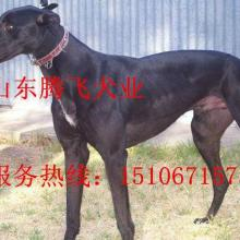 供应湖南格力犬的价格 天津哪里的格力犬便宜批发