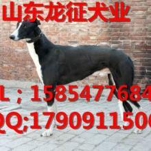 供应格力犬和灵缇的区别,格力犬和灵缇销售价格批发
