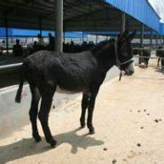 今年繁殖肉驴怎么卖的图片