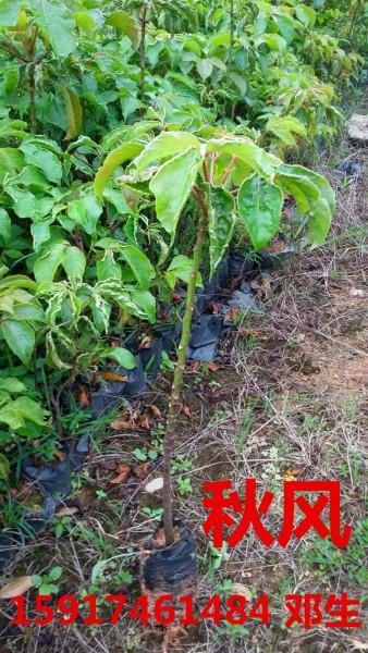 供应用于绿化造林的广东40公分高秋风树苗便宜报价,南方50公分高秋风袋苗批发商,广州60公分高秋风种苗供货商价格