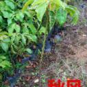 广州30公分高秋风苗木供货商图片