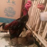 江西纯种越南斗鸡泰国斗鸡养殖场图片