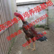 安徽哪里有纯种越南斗鸡养殖场图片