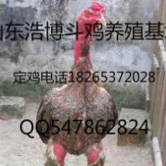 贵州纯种越南斗鸡泰国斗鸡养殖场图片