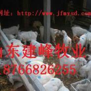 怎样养山羊山羊养殖技术贵州白山羊图片