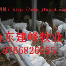 供应怎样养山羊山羊养殖技术贵州白山羊