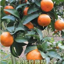 无核砂糖橘树苗批发15926408864冰糖橘产地批发