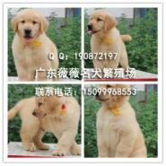 金毛犬幼犬图片