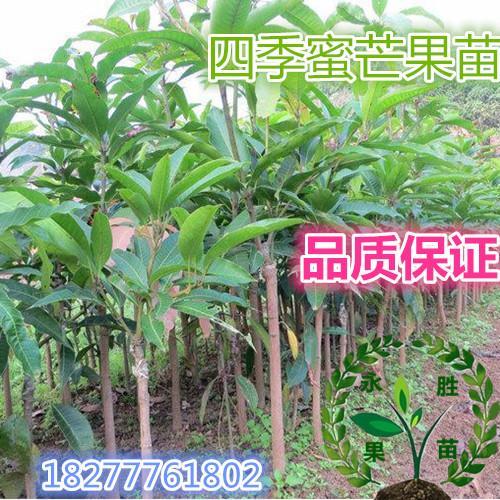 四季蜜芒芒果苗销售