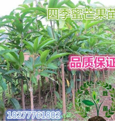 芒果苗图片/芒果苗样板图 (1)