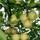 供应梨苗,梨树苗,梨苗价格